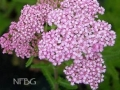 Achillea m. 'Apple Blossom'