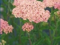 Achillea m.'Salmon Beauty'