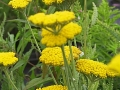 Achillea x 'Coronation Gold'