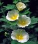 Alcea rosea 'Spotlight Polarstar'