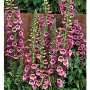 Digitalis-purpurea-Camelot-Rose