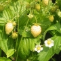 Fragaria vesca 'Alpine-Yellow'