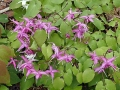 Epimedium 'Rose Queen' hybrid
