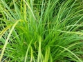 Carex c. pennsylvanica