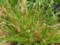 Scirpus cyperinus