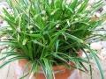 Carex 'Ice Dance'