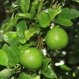 Citrus aurantifolia Key Lime