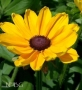 Rudbeckia Indian Summer'