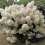 Hydrangea 'Bobo'