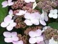 Hydrangea 'Tokyo Delight'