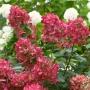 Hydrangea paniculata 'Fire Light'
