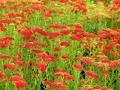 Achillea m.'Red Beauty'