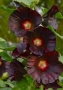 Alcea rosea 'Spotlight Blacknight'