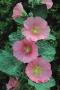 Alcea rosea 'Spotlight Radiant Rose'