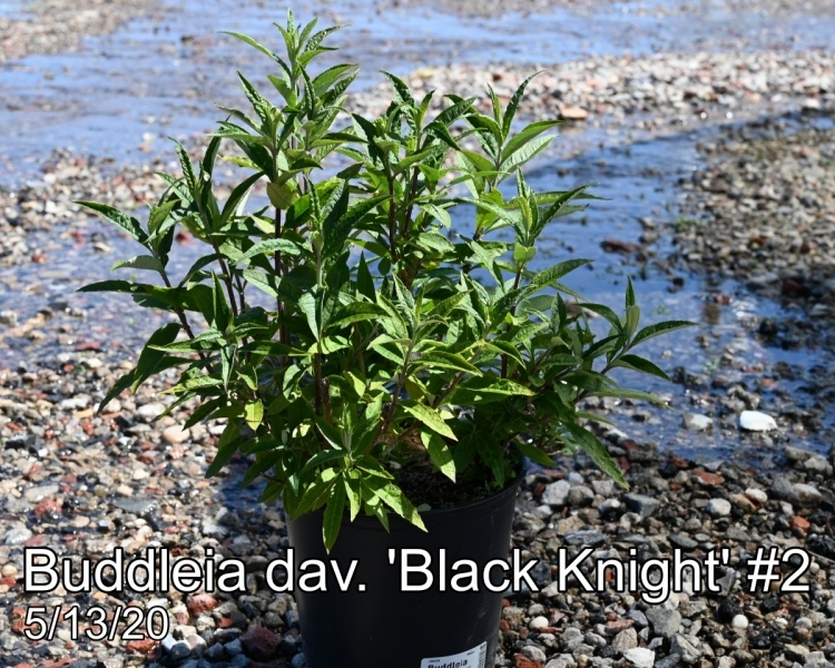 Buddleia dav. Black Knight #2