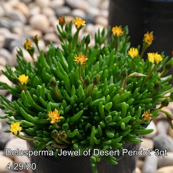 Delosperma coo. Jewel of Desert Peridot 3qt