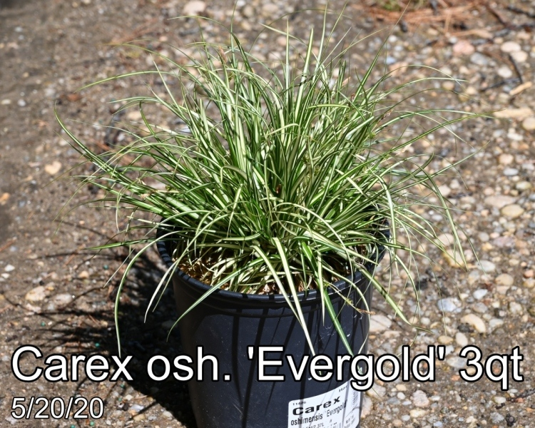 Carex osh. Evergold 3qt