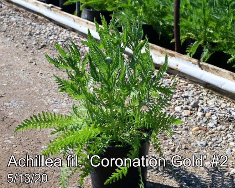 Achillea fil. Coronation Gold #2
