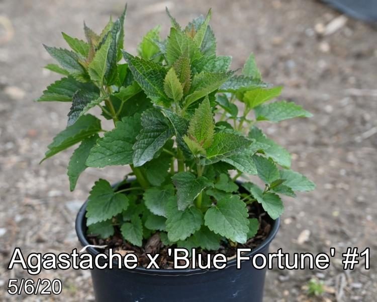 Agastache x Blue Fortune #1