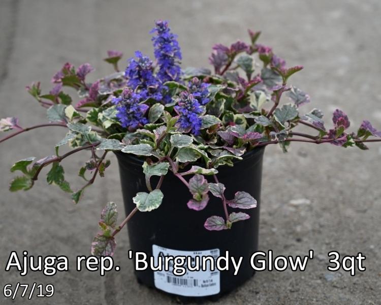 Ajuga rep. Burgundy Glow 3qt