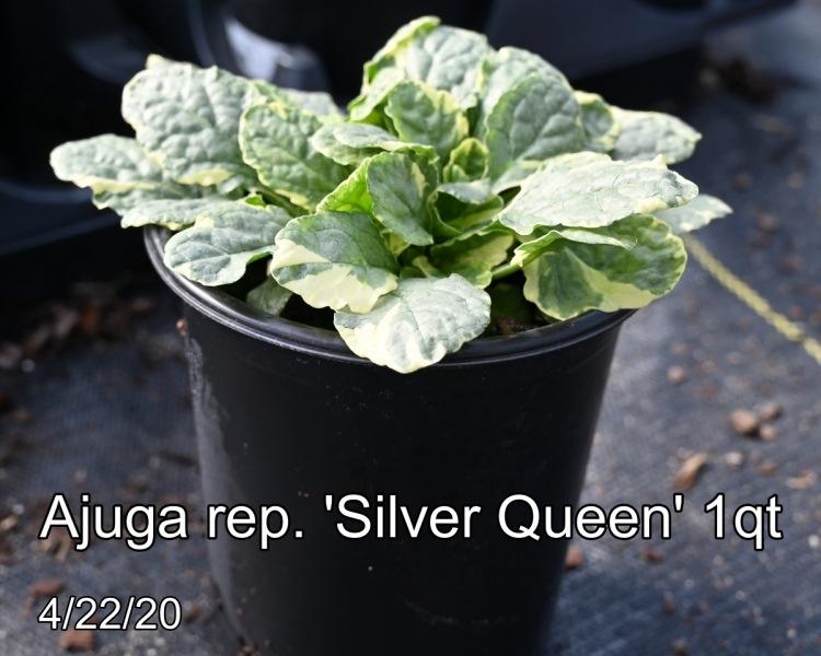 Ajuga rep. Silver Queen 1qt