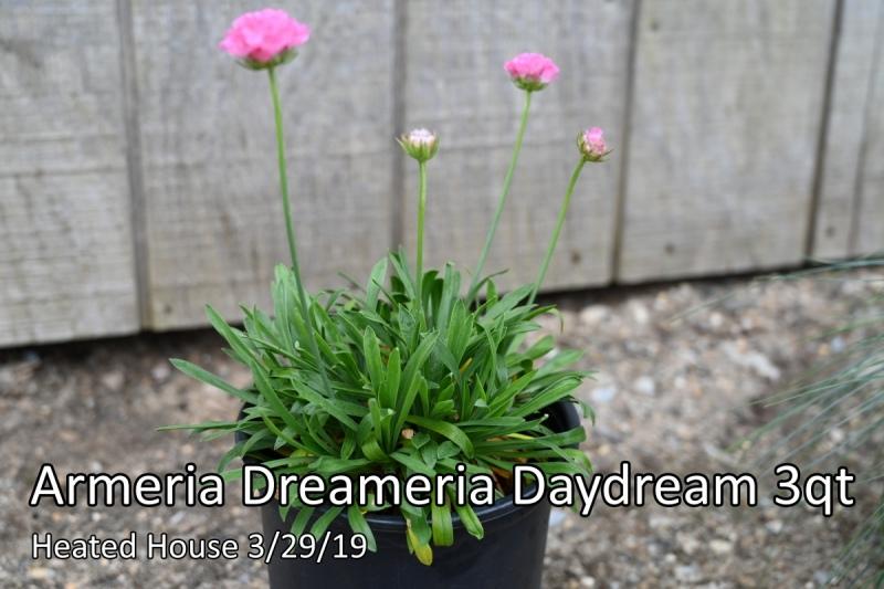 Armeria Dreameria Daydream 3qt