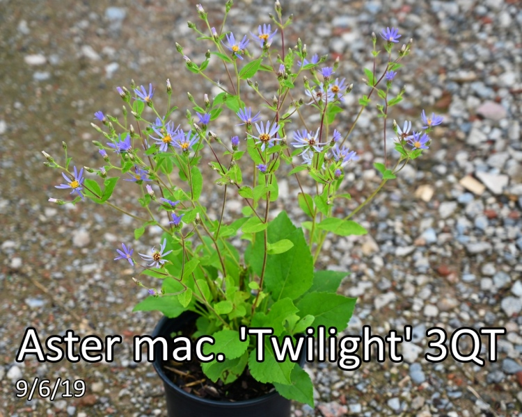 Aster mac. Twilight 3qt