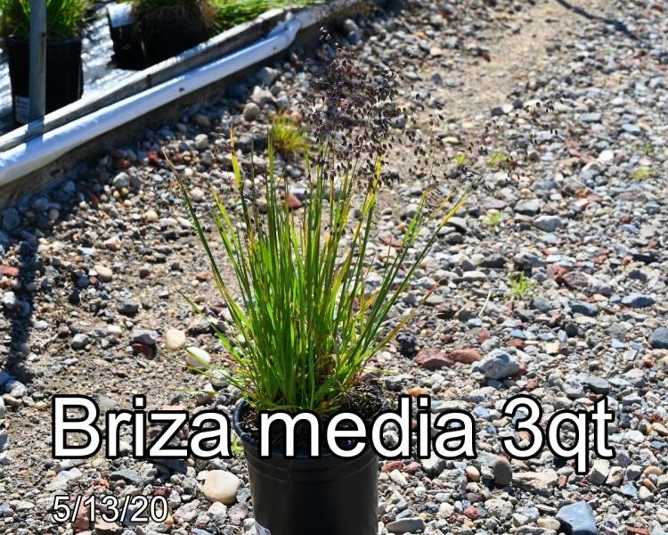 Briza media 3qt