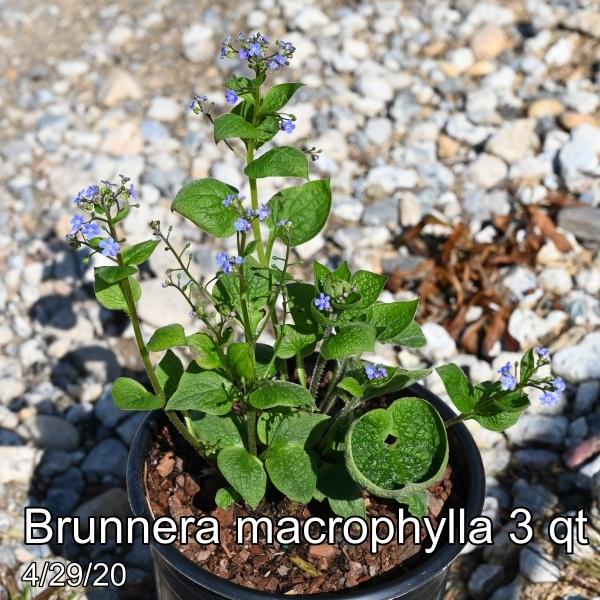 Brunnera macrophylla 3qt