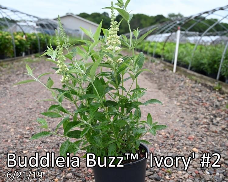 Buddleia-Buzz™-Ivory