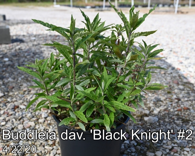 Buddleia-dav.-Black-Knight-2