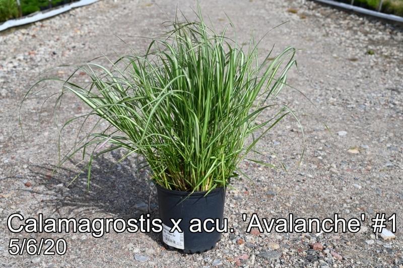 Calamagrostis x acu. Avalanche #1
