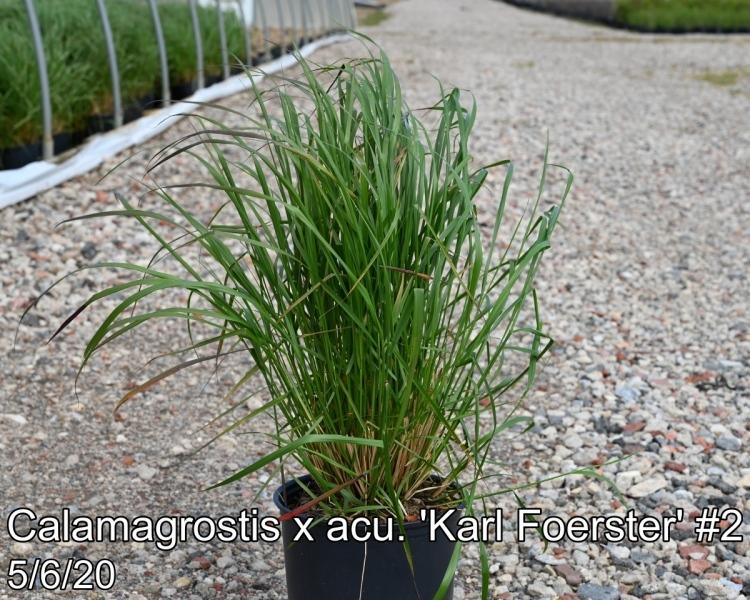 Calamagrostis x acu. Karl Foerster #2