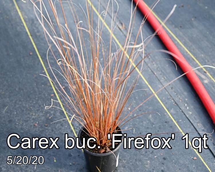 Carex buc. Firefox 1qt