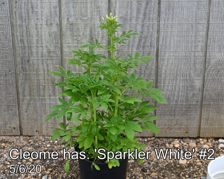 Cleome has. Sparkler White #2