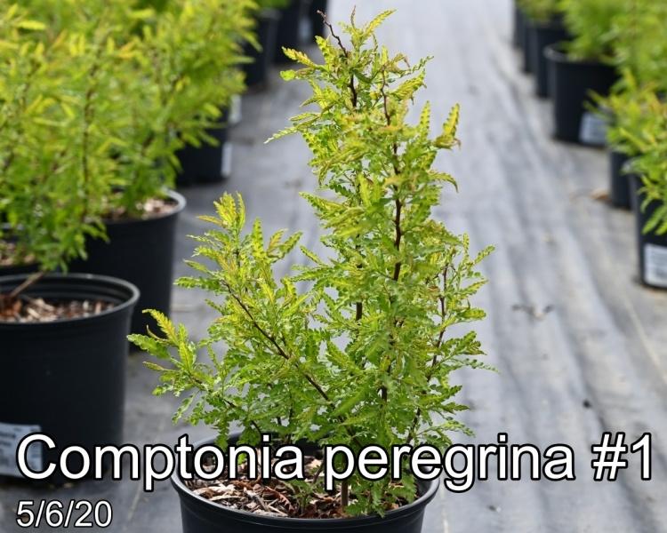 Comptonia peregrina #1