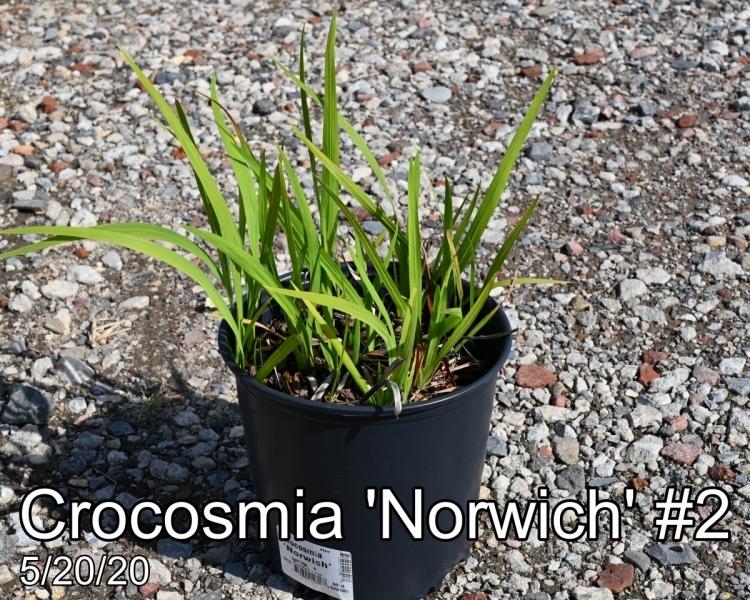 Crocosmia Norwich #2