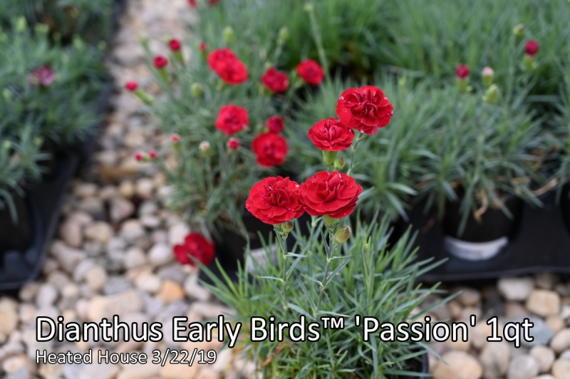 Dianthus-Early-Birds™-Passion