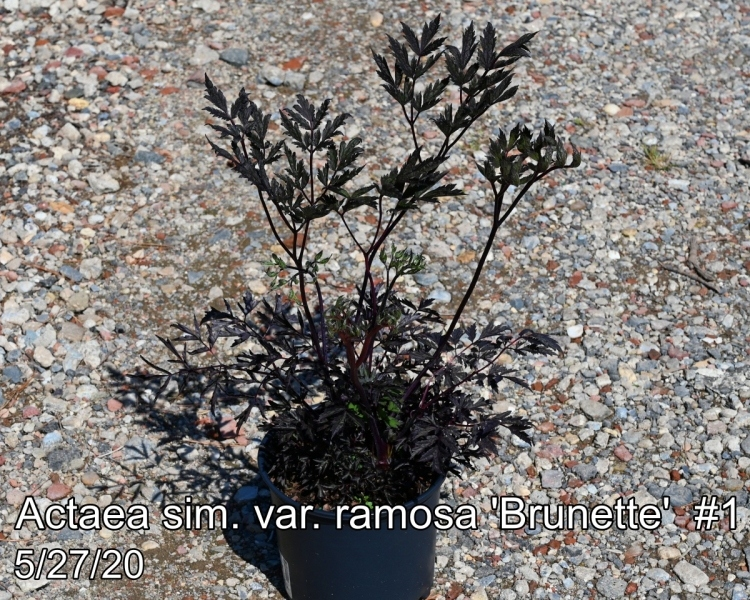 Actaea sim. var. ramosa Brunette #1
