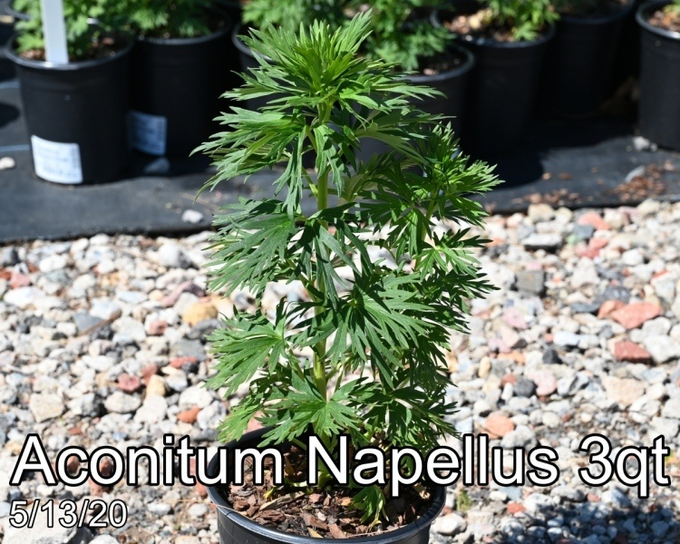 Aconitum Napellus 3qt