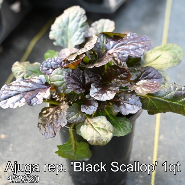 Ajuga rep. Black Scallop 1qt