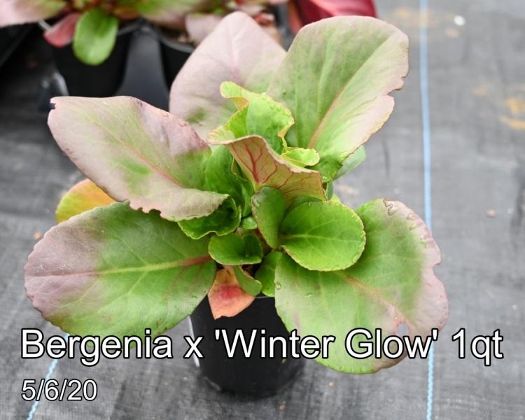 Bergenia x Winter Glow 1qt