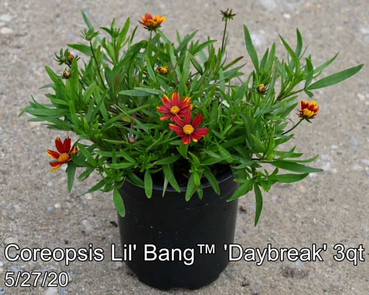 Coreopsis Lil' Bang™ 'Daybreak' PP27138 3qt