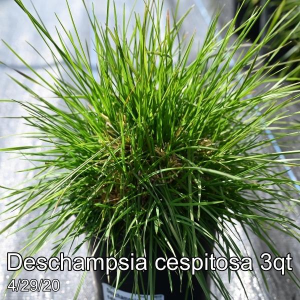 Deschampsia cespitosa 3qt