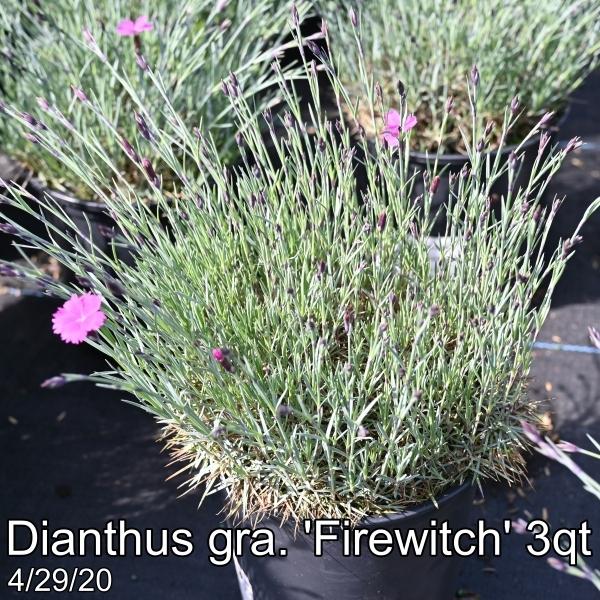 Dianthus gra. Firewitch 3qt