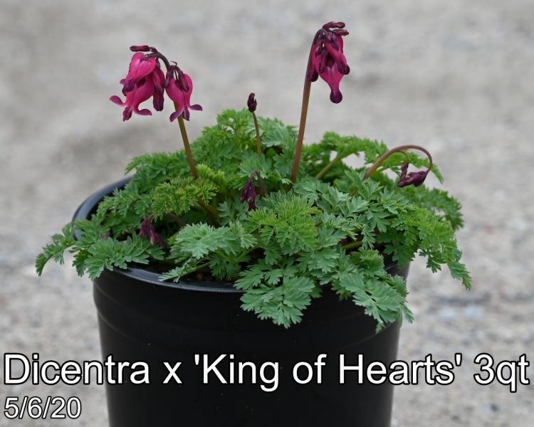 Dicentra x King of Hearts 3qt