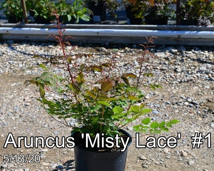 Aruncus Misty Lace #1