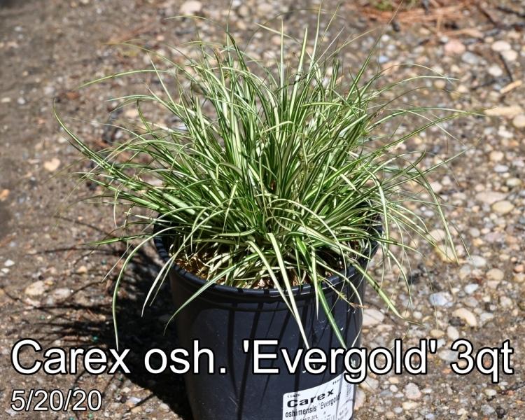 Carex osh. Evergold 3qt