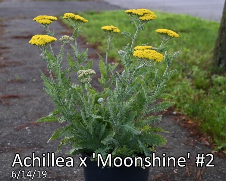 Achillea x Moonshine #2