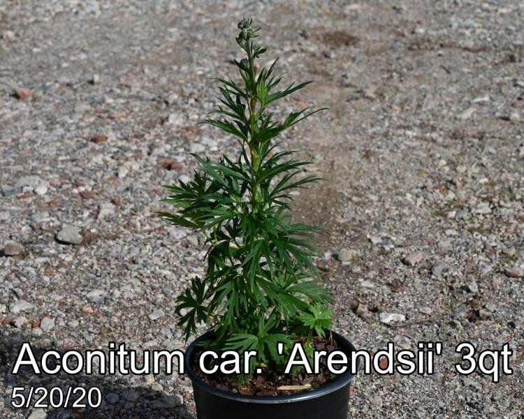 Aconitum car. Arendsii 3qt